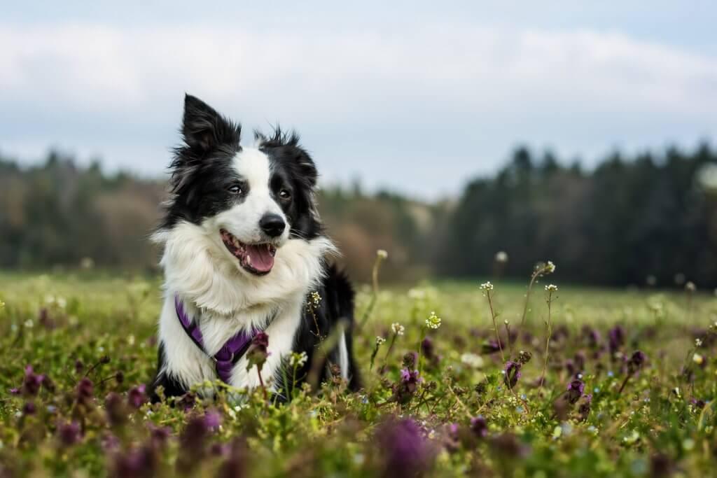 chien blanc et noir avec un harnais violet assis dans une prairie