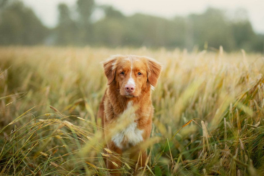 brown and white dog standing in field of grass awns