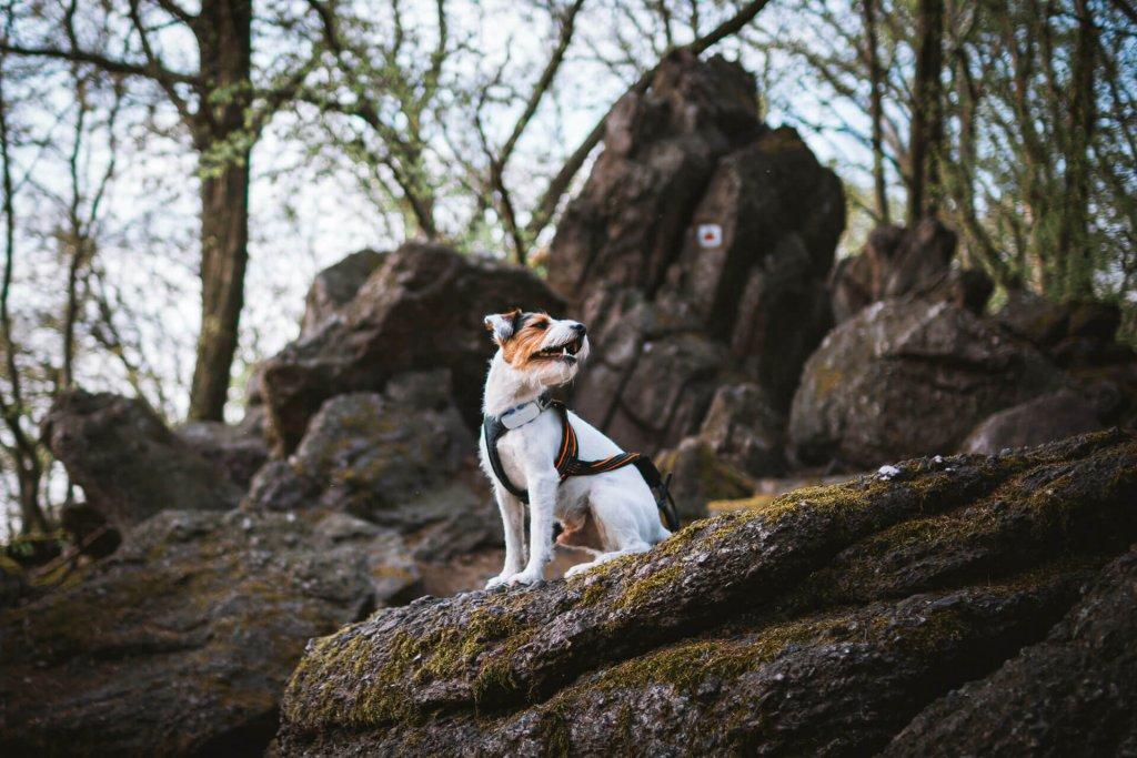 Hund auf Felsen mit Hundegeschirr und Tracker