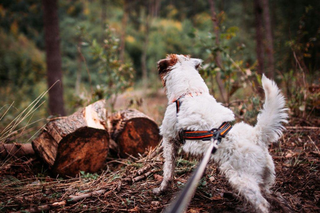 Kleiner, weiß-brauner Hund mit Hundegeschirr und Leine im Wald