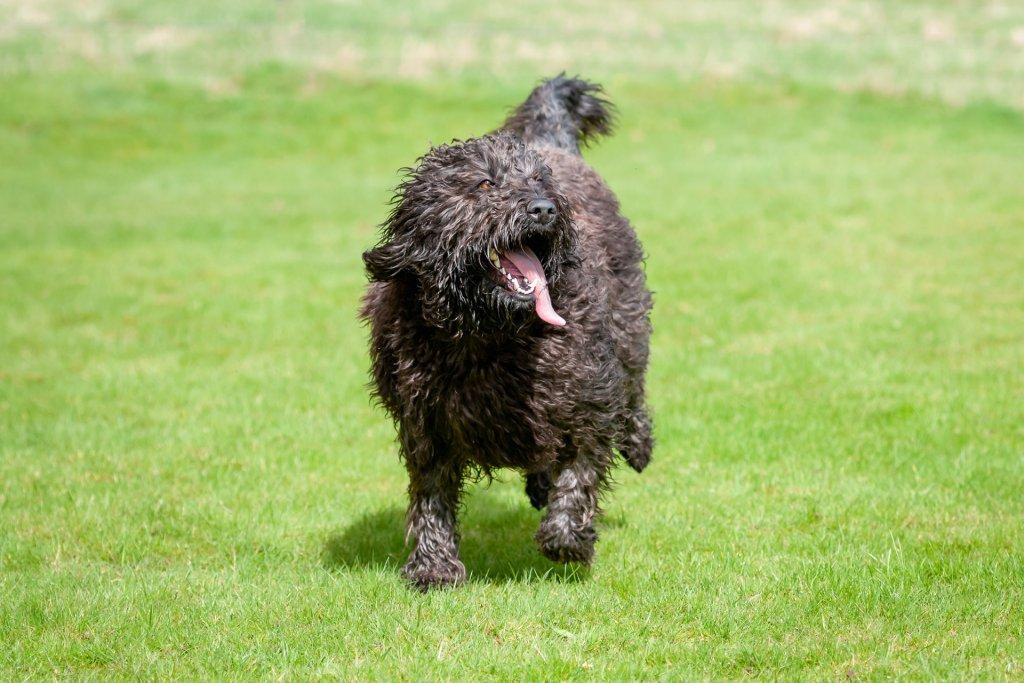 barbet dog running outside
