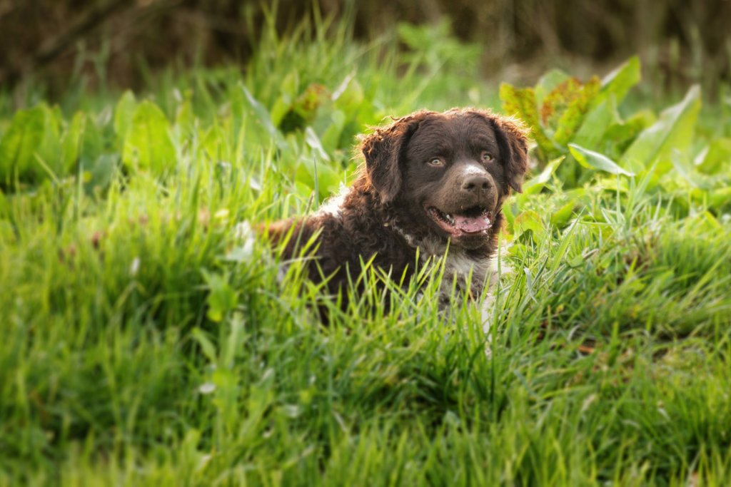 Curly-Coated Retriever dog laying in grass