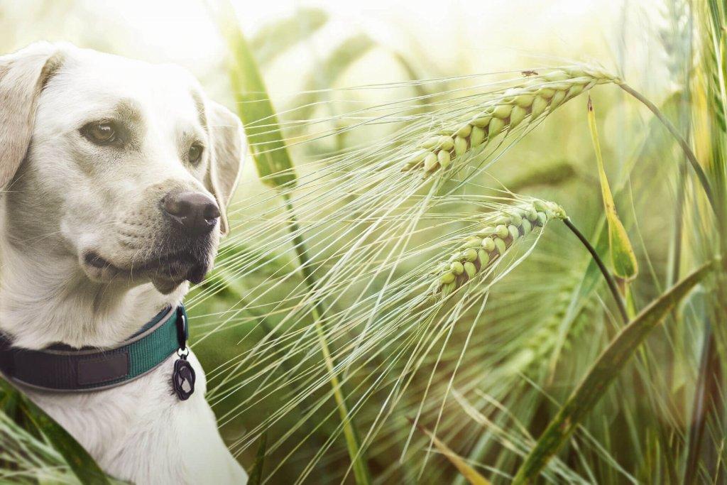 Hund mit hellem Fell und Halsband umgeben von gefährlichen Grannen