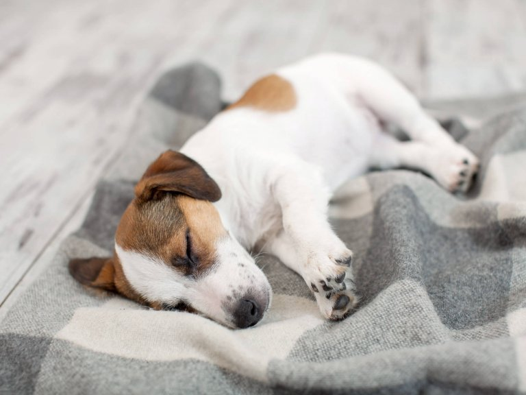 small white and brown dog sleeping on a blanket