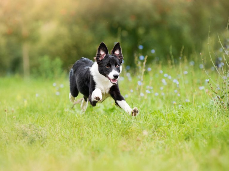 white and black dog running through a grassy field outside