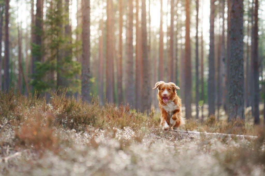 Rötlich-braun-weißer Hund läuft hechelnd durch den Wald