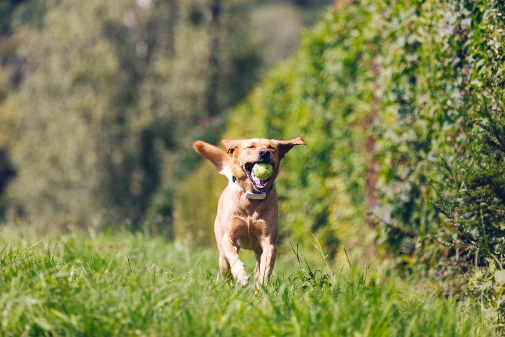 Rötlich-brauner Hund mit Tractive GPS Tracker am Halsband und Tennisball im Mund läuft durch Wiese