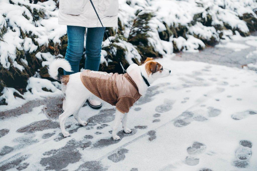 Rötlich-braun-weißer Kleinhund mit Hundemantel an der Leine seines Frauchens beim Gassi gehen im Schnee