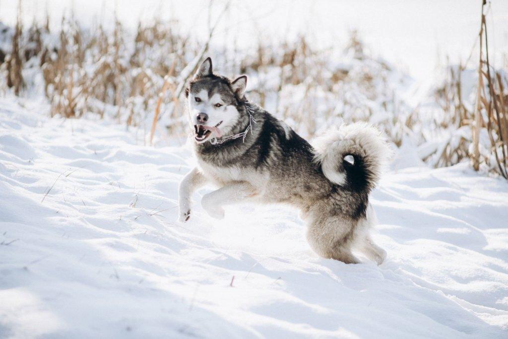 Husky springt glücklich durch den Schnee