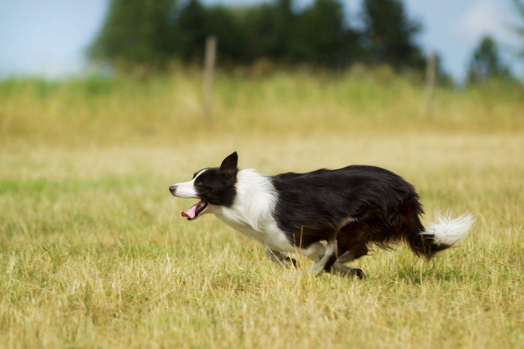 Schwarz-weißer Outdoor-Hund läuft hechelnd durch das Feld