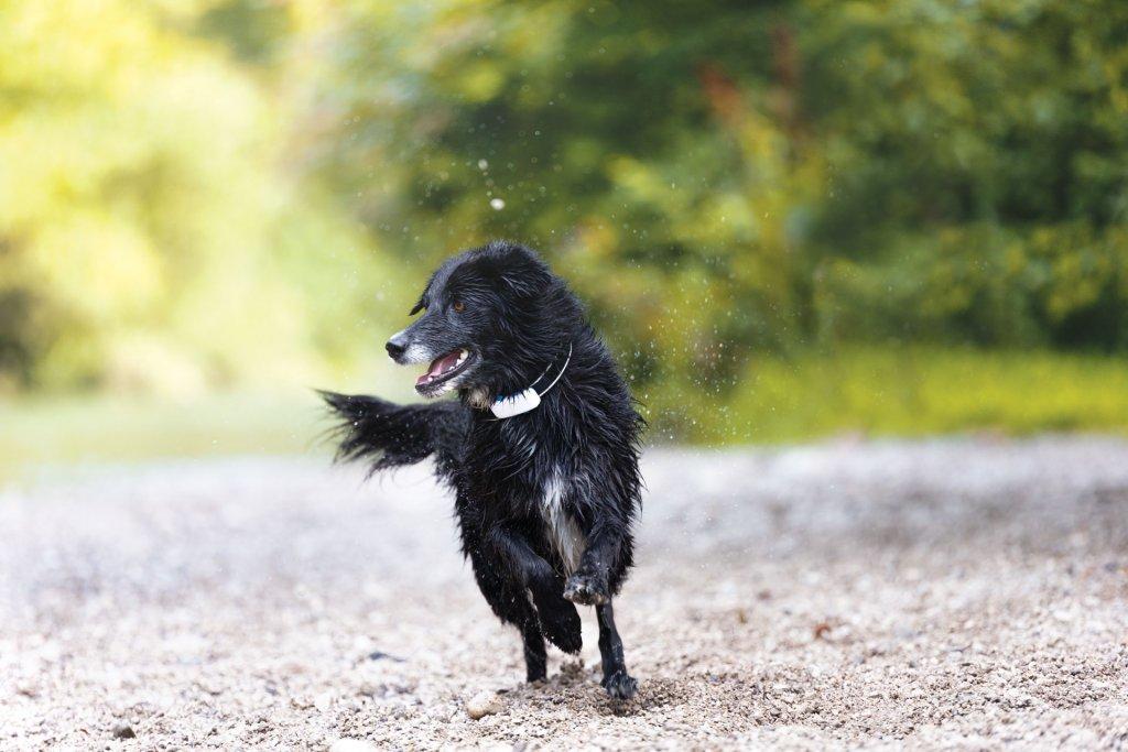black dog wearing gps tracker running outside