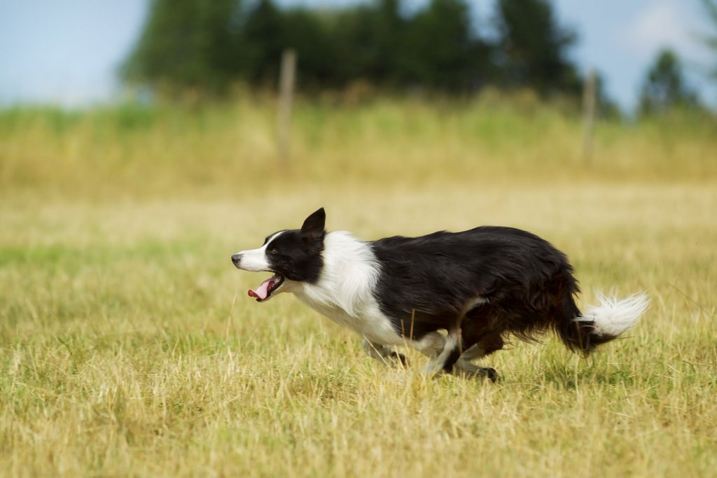 black and white outdoor dog running away through a field of grass
