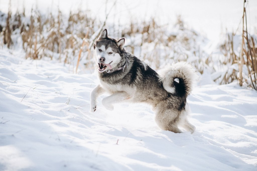husky dog jumping outside in snow
