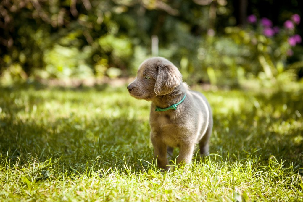 grey puppy standing outside