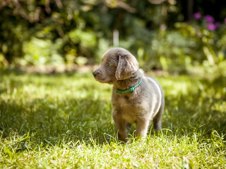 small grey puppy standing outside in the grass