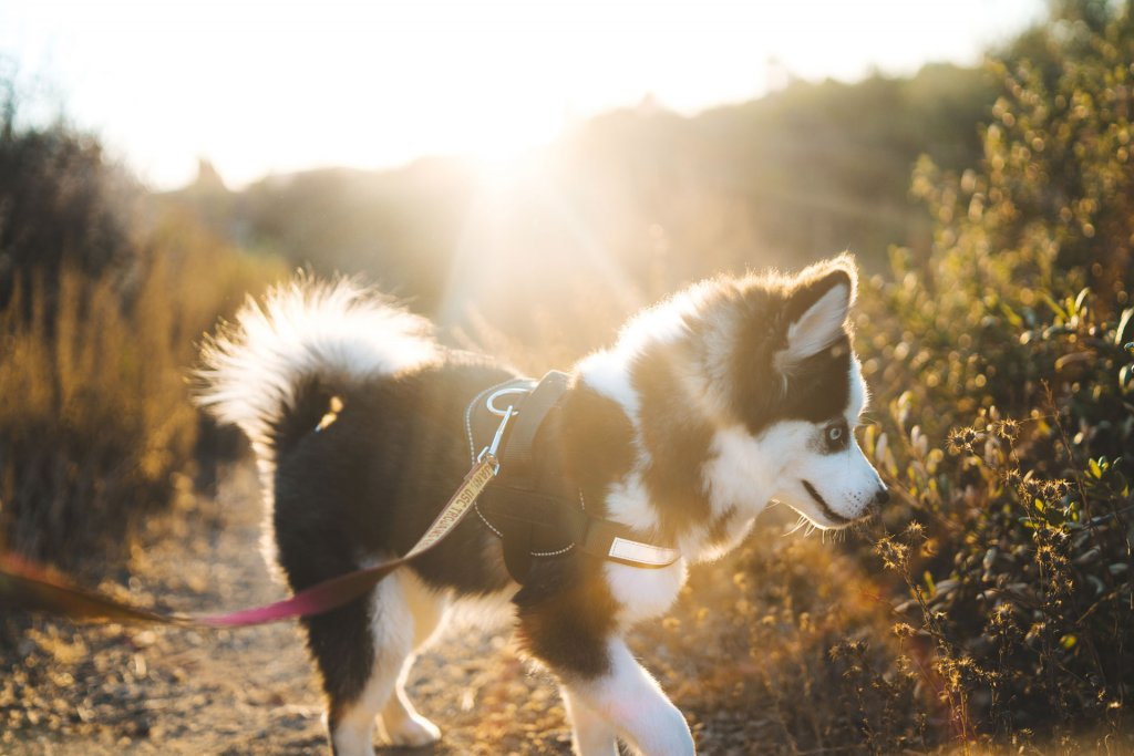 small husky puppy on a leash outside with sun in the background
