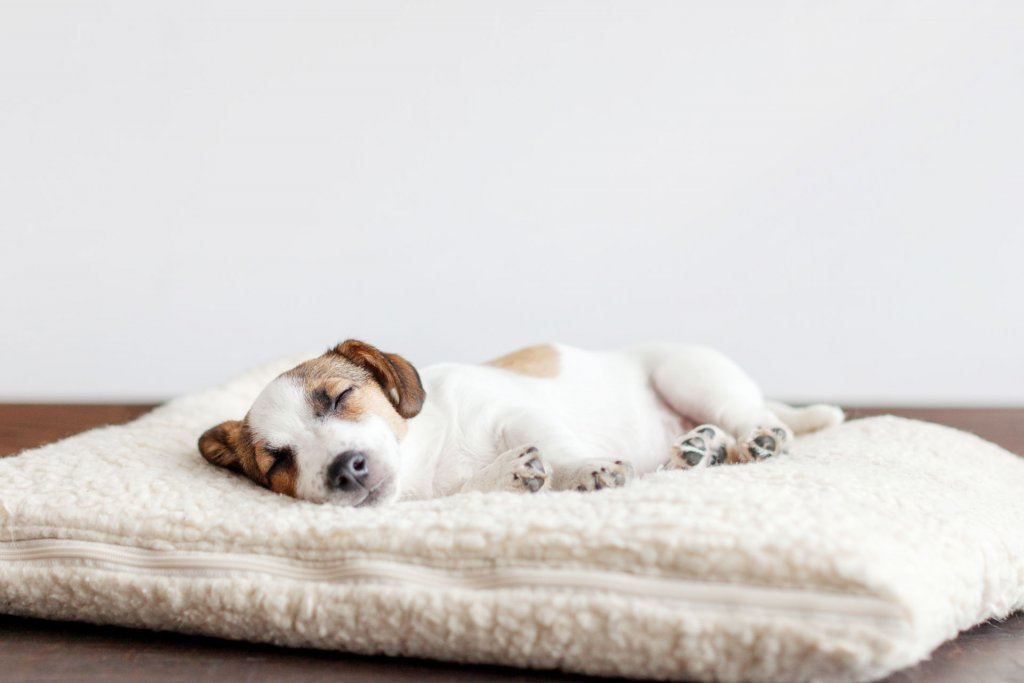 small white and brown dog/puppy sleeping on a white fuzzy dog bed indoors
