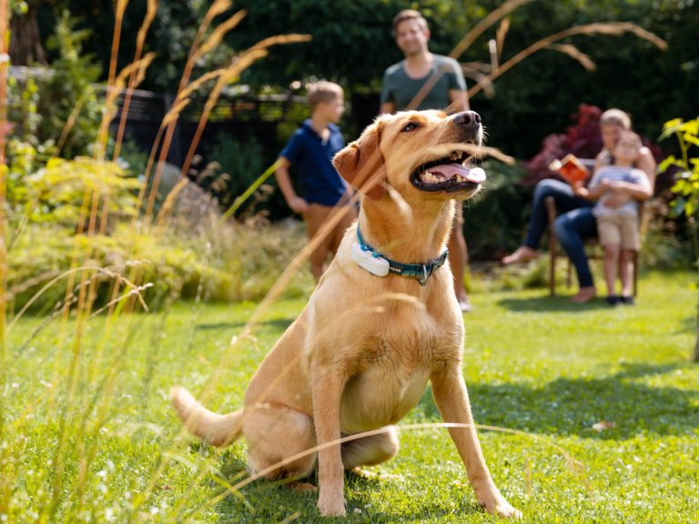 Hund mit Tracker am Halsband sitzt hechelnd auf der Wiese