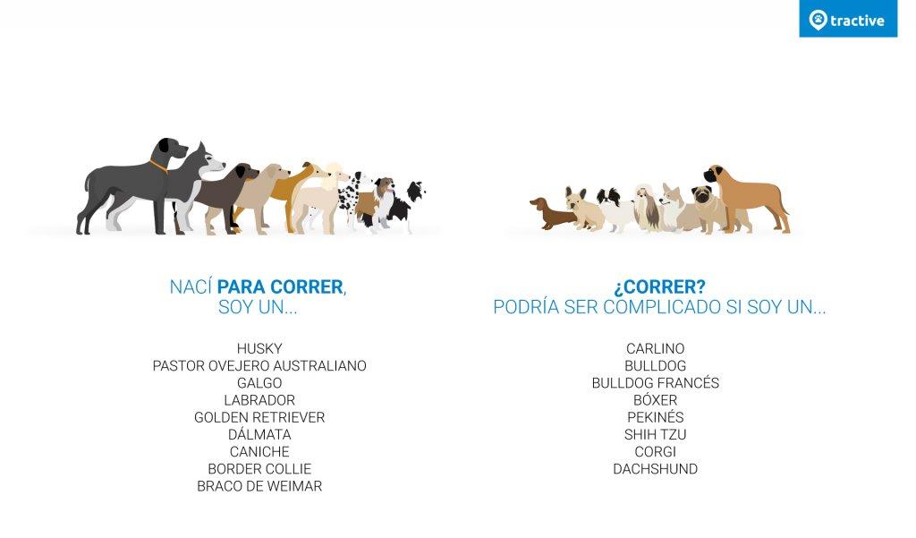 Infografía sobre razas de perros corredores natos y no corredores