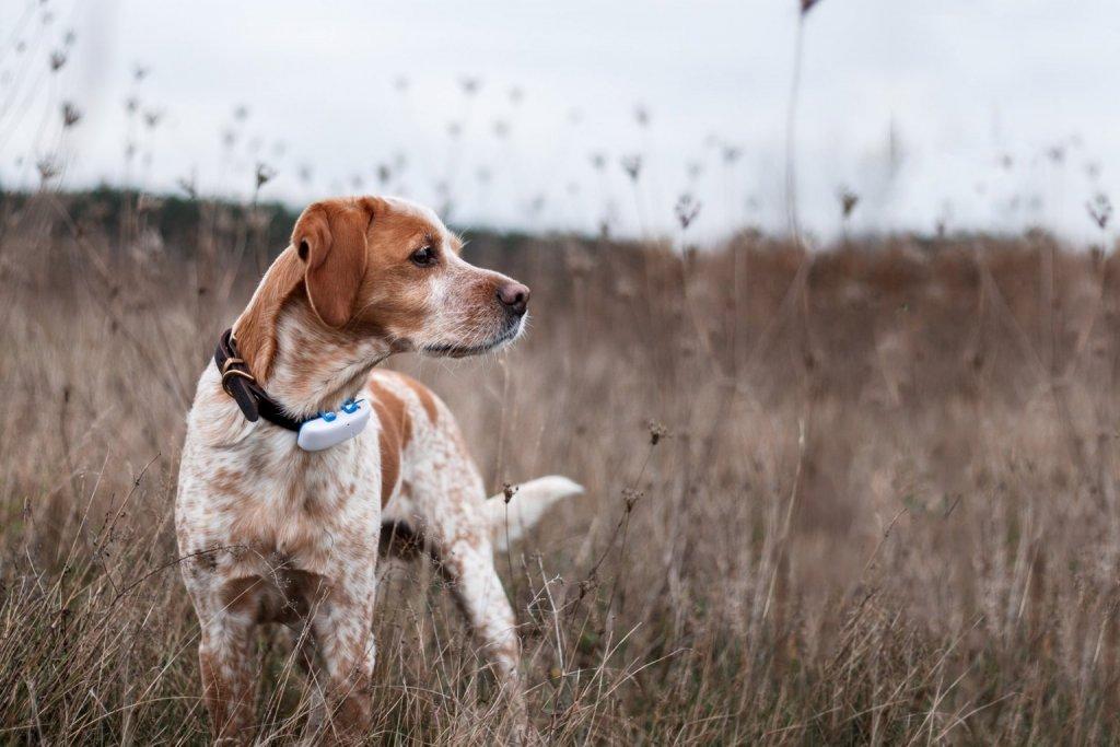 Hellbraun-weiß gefleckter Hund mit GPS-Tracker am Halsband steht im Feld und blickt suchend umher