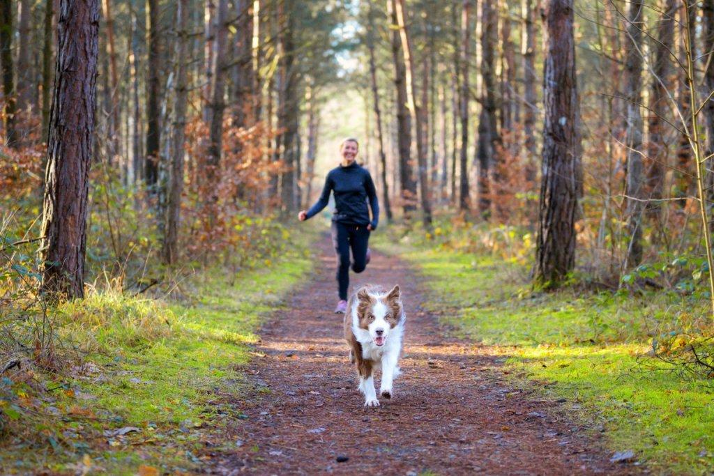 Braun-weißer Hund läuft durch den Wald mit seinem Frauchen auf den Fersen